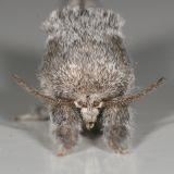 7937 -- Gray Furcula Moth -- Furcula cinerea