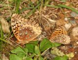 Great Spangled Fritillary - Speyeria cybele & Atlantis Fritillary - Speyeria atlantis