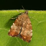 2650 -- Apple Leaf Skeletonizer Moth - Choreutis pariana
