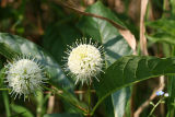 Button Bush - Cephalanthus occidentalis