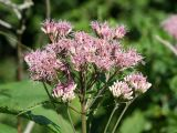 Joe Pye Weed - Eupatorium sp.