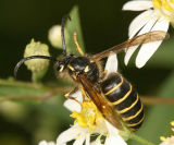 Dolichovespula norvegicoides (Northern Aerial Yellowjacket)