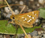 Common Branded Skipper - Hesperia comma