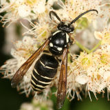 Dolichovespula adulterina ( Parasitic Yellowjacket)