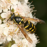Dolichovespula arenaria (Common aerial Yellowjacket)