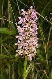 Lesser Purple Fringed Orchid - Platanthera psycodes