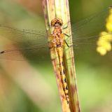 Black Meadowhawk - Sympetrum danae