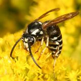 Dolichovespula adulterina (Parasitic Yellowjacket)