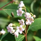Spreading Dogbane - Apocynum androsaemifolium
