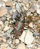 Green-margined Tiger Beetle - Cicindela limbalis