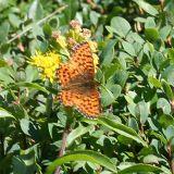 Purplish Fritillary - Boloria montinus