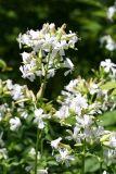 Common Soapwort - Saponaria officinalis - Caryophyllaceae