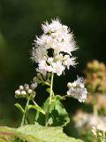 Meadow Sweet - Spiraea alba
