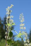 Wild Cucumber - Echinocystis lobata