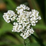 Common Yarrow - Achillea millefolium