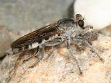 Stichopogon trifasciatus