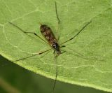 Limnophila macrocera