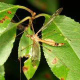 Tipula submaculata?