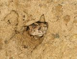 Fowlers Toad - Anaxyrus fowleri (in it's little hole in the sand)