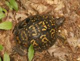 Eastern Box Turtle (4) - Terrapene carolina