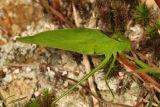 Amblycorypha oblongifolia