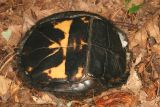 underside of an Eastern Box Turtle - Terrapene carolina