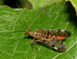Panorpa maculosa