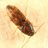 Conoderus bellus