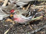 Common Redpoll - Carduelis flammea