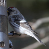 Hoary Redpoll - Carduelis hornemanni