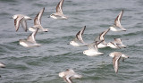 Sanderlings - Calidris alba