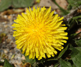 Common Dandelion - Taraxacum officinale