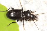 Pterostichus corvinus