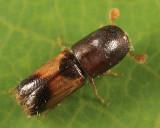 Monarthrum fasciatum