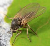 Prosimulium sp. (female)