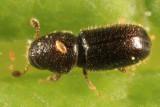 Pityophthorus sp.