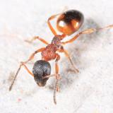Ants genus Dolichoderus