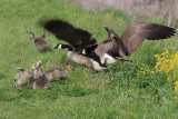 Canada Geese - Branta canadensis (fighting)