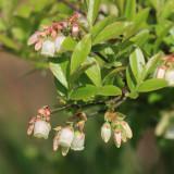 Dwarf Huckleberry - Gaylussacia dumosa