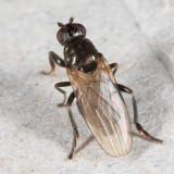 Lotophila atra