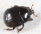 Margarinotus lecontei or  faedatus