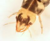 Neoporus sp. (larva)