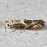 0572 -- Oak Skeletonizer Moth -- Bucculatrix ainsiliella
