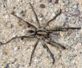 Burrowing Wolf Spider - Geolycosa turricola