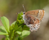 Frosted Elfin - Callophrys irus