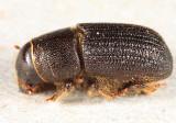 Black Turpentine Beetle - Dendroctonus terebrans