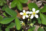 Wild Strawberry - Fragaria virginiana