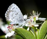 Cherry Gall Azure - Celastrina serotina
