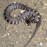 Northern Water Snake - Nerodia sipedon sipedon