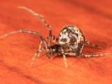 Common House Spider - Parasteatoda tepidariorum